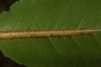 Photographie n°jlt009947 du taxon
