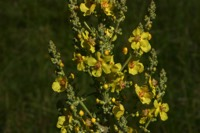 Photographie n°jlt010424 du taxon