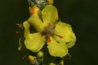 Photographie n°jlt010425 du taxon