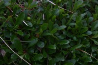Photographie n°jlt010650 du taxon