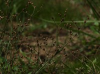 Photographie n°jlt011755 du taxon