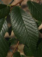 Photographie n°jlt012044 du taxon