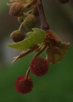 Photographie n°jlt014299 du taxon