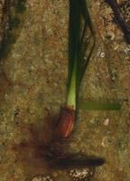 Photographie n°jlt015290 du taxon