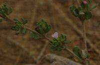 Photographie n°jlt015292 du taxon