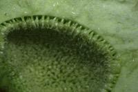 Photographie n°jlt017881 du taxon