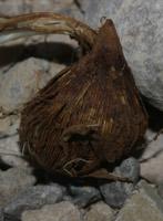 Photographie n°jlt021181 du taxon