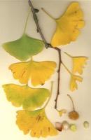 Photographie n°jlt023302 du taxon