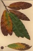 Photographie n°jlt023330 du taxon