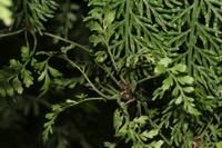 Photographie n°jlt023706 du taxon