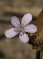 Photographie n°jlt026032 du taxon
