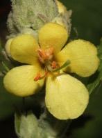 Photographie n°jlt026449 du taxon
