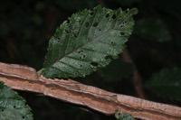 Photographie n°jlt027187 du taxon