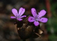 Photographie n°jlt027523 du taxon