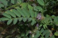 Photographie n°jlt042660 du taxon