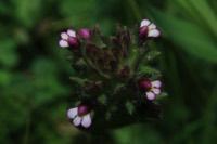 Photographie n°jlt046929 du taxon