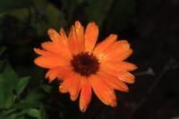 Photographie n°jlt051010 du taxon