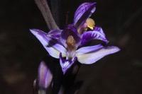 Photographie n°jlt052608 du taxon