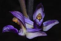 Photographie n°jlt052609 du taxon