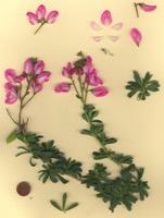Photographie n°jlt054928 du taxon