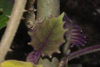 Photographie n°jlt056248 du taxon