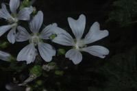 Photographie n°jlt065442 du taxon