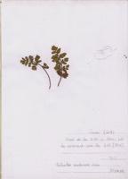 Photographie n°jlt070181 du taxon