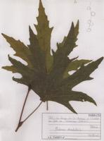 Photographie n°jlt074665 du taxon