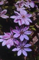 Photographie n°jlt083608 du taxon