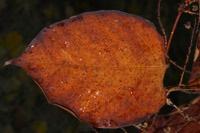 Photographie n°jlt090196 du taxon