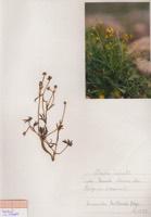 Photographie n°jlt090513 du taxon
