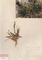 Photographie n°jlt090541 du taxon
