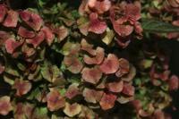 Photographie n°jlt093828 du taxon