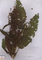 Photographie n°jlt094750 du taxon