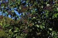 Photographie n°jlt095069 du taxon