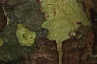 Photographie n°jlt100995 du taxon